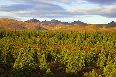Black Spruce (Picea mariana) boreal forest and the Alaska Range, Denali National Park, Alaska  -  Yva Momatiuk & John Eastcott