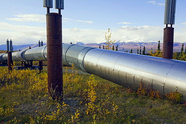 Finned radiators expel heat from heat pipes protecting the Alaska Pipeline from permafrost, Alaska  -  Yva Momatiuk & John Eastcott