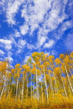 Quaking Aspen (Populus tremuloides) trees in fall near the Alaska Highway, British Columbia, Canada  -  Yva Momatiuk & John Eastcott