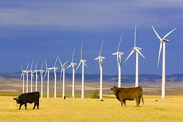 Domestic Cattle (Bos taurus) and windmills in harvested field of traditional farming community, Alberta, Canada  -  Yva Momatiuk & John Eastcott