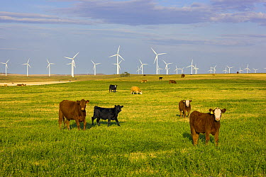 Domestic Cattle (Bos taurus) and windmills in harvested field of traditional farming community, Alberta, Canada  -  Yva Momatiuk & John Eastcott