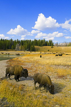 American Bison (Bison bison) herd near river, Yellowstone National Park, Wyoming  -  Yva Momatiuk & John Eastcott