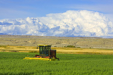 Rancher harvesting oats while heavy cumulus clouds gather above, central Wyoming  -  Yva Momatiuk & John Eastcott
