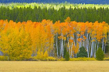 Quaking Aspen (Populus tremuloides) and alpine meadow in autumn, Grand Teton National Park, Wyoming  -  Yva Momatiuk & John Eastcott