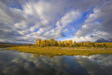 Quaking Aspen (Populus tremuloides) and cumulus clouds above Snake River, Grand Teton National Park, Wyoming  -  Yva Momatiuk & John Eastcott