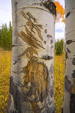 Quaking Aspen (Populus tremuloides) tree trunk with elk antler rubs, Grand Teton National Park, Wyoming  -  Yva Momatiuk & John Eastcott