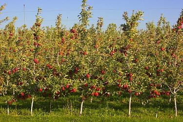 Red apples in orchard before harvest, Washington  -  Yva Momatiuk & John Eastcott