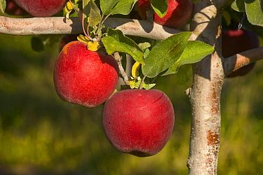 Red apples on tree before harvest, Washington  -  Yva Momatiuk & John Eastcott