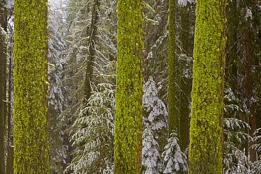 Mossy pine trees after first snow, Sequoia National Park, California  -  Yva Momatiuk & John Eastcott