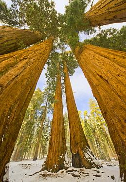 Giant Sequoia (Sequoiadendron giganteum) trees after first snow, Sequoia National Park, California  -  Yva Momatiuk & John Eastcott