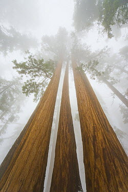 Giant Sequoia (Sequoiadendron giganteum) trees in snow and fog, Sequoia National Park, California  -  Yva Momatiuk & John Eastcott
