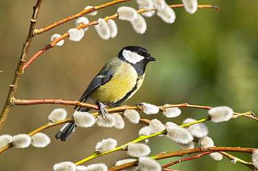 Great Tit (Parus major) on willow twig with furry catkins, Sussex, England  -  Derek Middleton/ FLPA