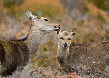 Sika Deer (Cervus nippon) grooming young, Dorset, England  -  Derek Middleton/ FLPA