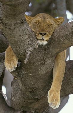 African Lion (Panthera leo) female sleeping, Serengeti National Park, Tanzania  -  Martin Withers/ FLPA