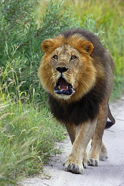 African Lion (Panthera leo) black-maned male roaring, Kalahari, Botswana  -  Martin Withers/ FLPA