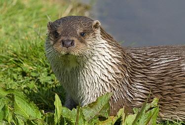 European River Otter (Lutra lutra), Cornwall, England  -  Derek Middleton/ FLPA
