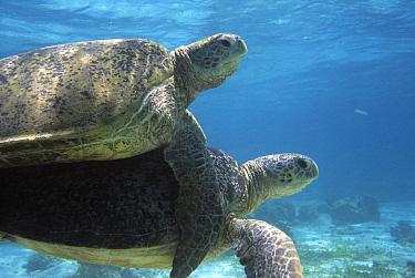 Green Sea Turtle (Chelonia mydas) pair mating, Derawan Islands, Indonesia  -  Colin Marshall/ FLPA