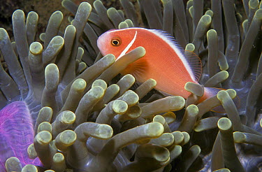 Pink Anemonefish (Amphiprion perideraion) in Magnificent Sea Anemone (Heteractis magnifica), Nudi Retreat, Sulawesi, Indonesia  -  Colin Marshall/ FLPA