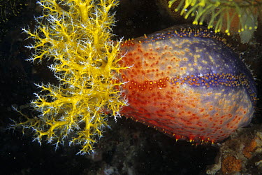 Sea Apple (Pseudocolochirus sp), south Rinca Island, Komodo National Park, Indonesia  -  Colin Marshall/ FLPA