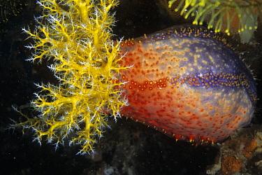 Sea Apple (Pseudocolochirus sp), south Rinca Island, Komodo National Park, Indonesia  -  Colin Marshall/ FLPA