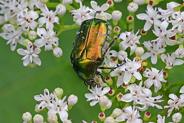 Green Rose Chafer (Cetonia aurata) feeding on flowers, Hungary  -  Martin Withers/ FLPA