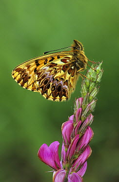 Titania's Fritillary (Boloria titania) butterfly on pink flower, Italy  -  Martin Withers/ FLPA