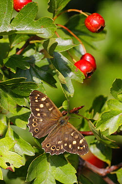 Speckled Wood (Pararge aegeria) butterfly on hawthorn leaf, Leicestershire, England  -  Martin Withers/ FLPA