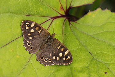 Speckled Wood (Pararge aegeria) butterfly on leaf, Leicestershire, England  -  Martin Withers/ FLPA