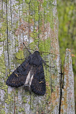 Black Rustic (Aporophyla nigra) moth on lichen covered fence post, Leicestershire, England  -  Martin Withers/ FLPA