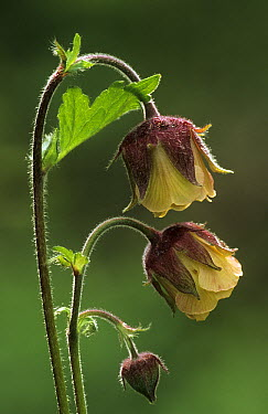 Water Aven (Geum rivale) flowers and bud, Derbyshire, England  -  Martin Withers/ FLPA