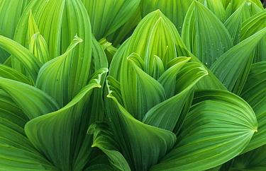 Green False Hellebore (Veratrum viride) leaf patterns, Glacier National Park, Montana  -  Martin Withers/ FLPA