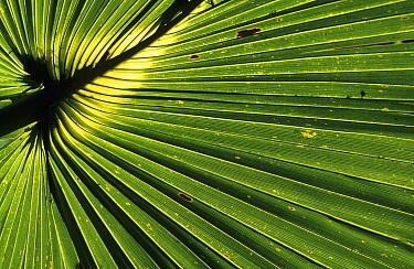 Saw Palmetto (Serenoa repens) leaf, Myakka, Florida  -  Martin Withers/ FLPA