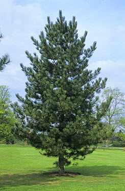 European Black Pine (Pinus nigra) tree, Europe  -  Martin Withers/ FLPA