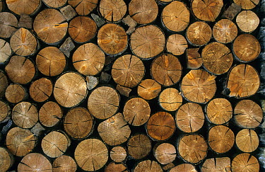 Log pile showing annual growth rings, Italy  -  Martin Withers/ FLPA