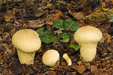 Devil's Snuffbox (Lycoperdon perlatum) mushrooms, fruiting bodies and ivy, Europe  -  Martin Withers/ FLPA