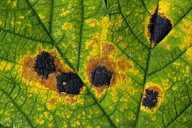 Tar Spot (Rhytisma acerinum) lesions on Sycamore (Platanus sp), Europe  -  Martin Withers/ FLPA