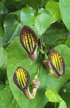 Climbing Birthwort (Aristolochia sempervirens) flowering, Cyprus  -  Martin Withers/ FLPA