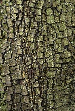 Holm Oak (Quercus ilex) bark, Europe  -  Martin Withers/ FLPA