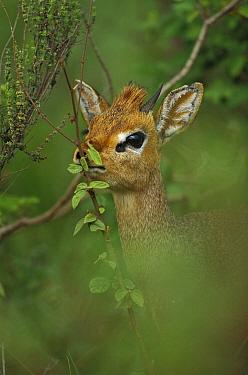 Kirk's Dik-dik (Madoqua kirkii) nibbling foliage, Serengeti National Park, Tanzania  -  Konrad Wothe