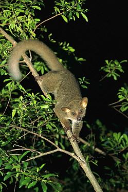 Thick-tailed Bush Baby (Otolemur crassicaudatus) climbing down tree at night, Mombasa, Kenya  -  Konrad Wothe
