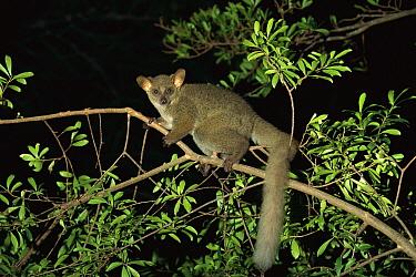 Thick-tailed Bush Baby (Otolemur crassicaudatus) climbing in tree at night, Mombasa, Kenya  -  Konrad Wothe