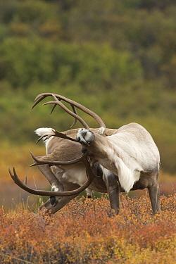 Caribou (Rangifer tarandus) scratching rear with antlers, central Alaska  -  Donald M. Jones