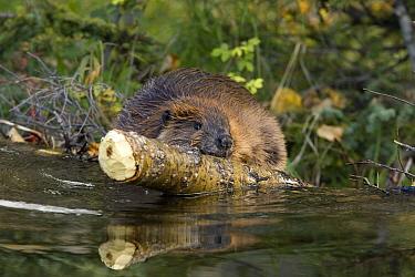 American Beaver (Castor canadensis) hauling log over dam, western Montana  -  Donald M. Jones