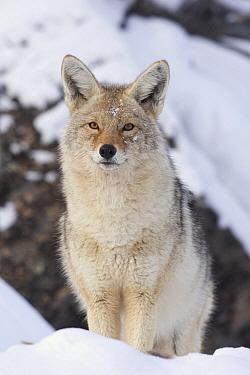 Coyote (Canis latrans), western Montana  -  Donald M. Jones