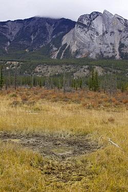 American Elk (Cervus elaphus nelsoni) wallow, western Alberta, Canada  -  Donald M. Jones