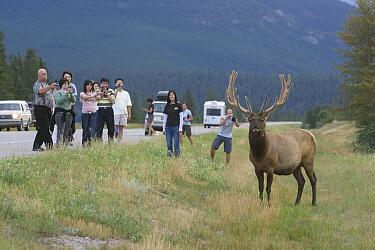 American Elk (Cervus elaphus nelsoni) bull and tourists along road, Jasper National Park, Alberta, Canada  -  Donald M. Jones