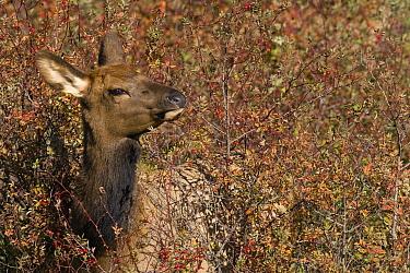 American Elk (Cervus elaphus nelsoni) calf feeding on berries, western Montana  -  Donald M. Jones