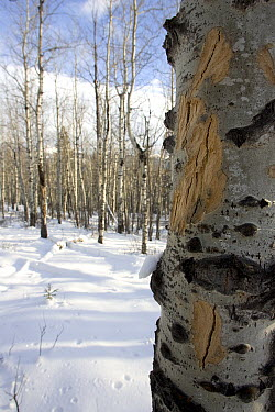 American Elk (Cervus elaphus nelsoni) chew marks on bark of Quaking Aspen (Populus tremuloides), western Montana  -  Donald M. Jones
