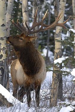American Elk (Cervus elaphus nelsoni) bull eating Quaking Aspen (Populus tremuloides) bark in winter, western Montana  -  Donald M. Jones