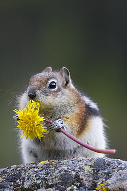 Golden-mantled Ground Squirrel (Callospermophilus lateralis) eating Dandelion (Taraxacum officinale), western Montana  -  Donald M. Jones